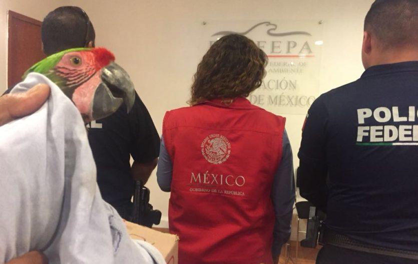 Aseguran guacamayas transportadas ilegalmente en Atlacomulco